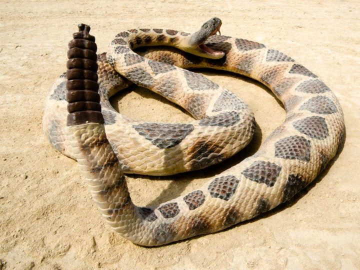 Once Bitten: Dos and Don'ts of Rattlesnake Bites